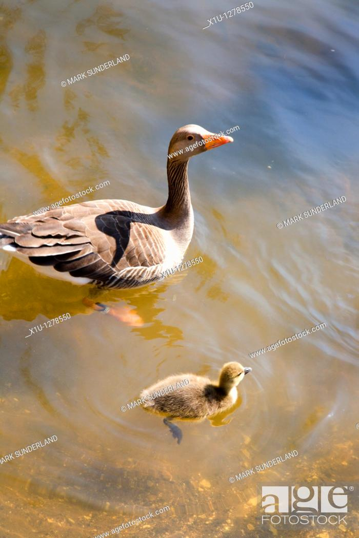 Stock Photo: Goose and Gosling on the River Ouse York Yorkshire UK.
