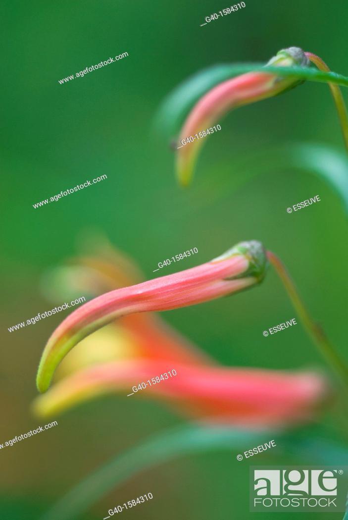 Stock Photo: Lobelia laxiflora.