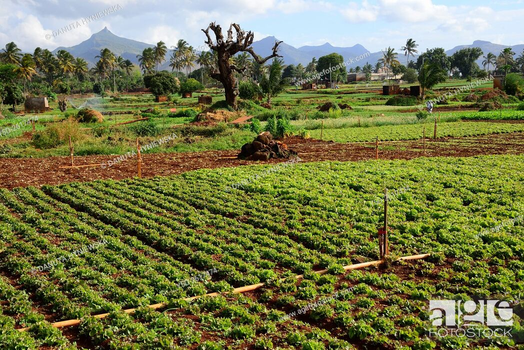 Imagen: agriculture farm, Pamplemousses district, Mauritius, Africa,.