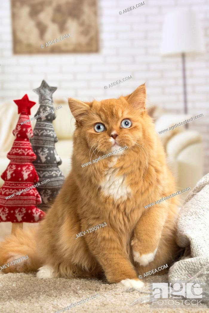 Stock Photo: Ginger Alley cat indoors at Christmas.