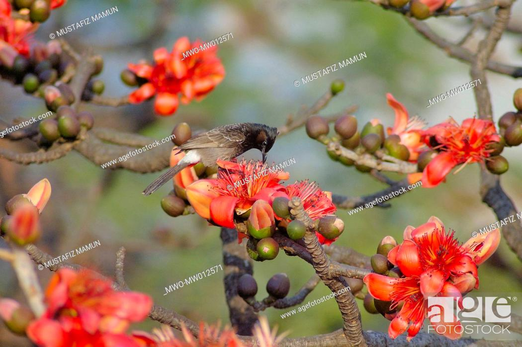 A Bulbul Bird On A Tree With Silk Cotton Flowers Shimul Is A