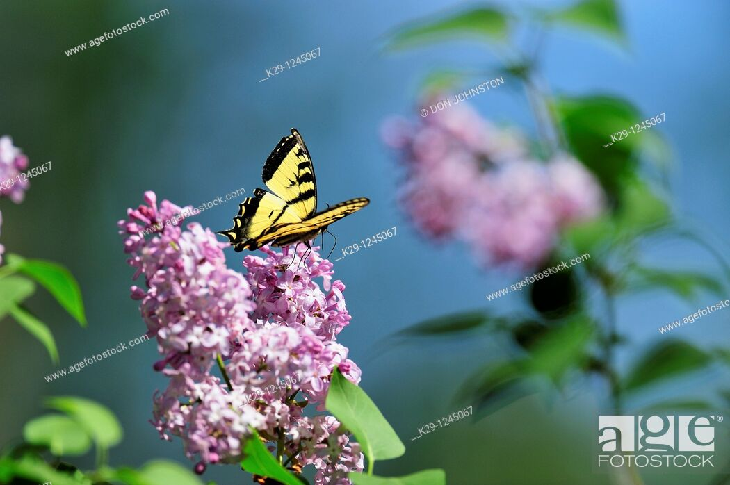 Stock Photo: Canadian tiger swallowtail Papilio Canadensis Nectaring on lilac flowers.