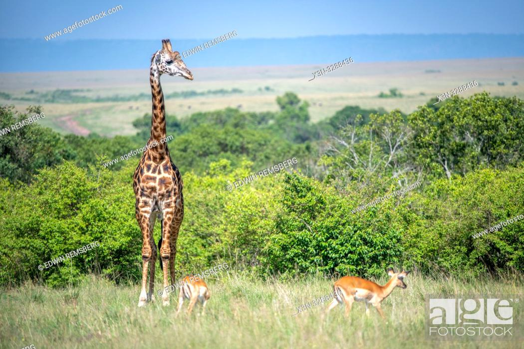 Stock Photo: Masai giraffe (Giraffa camelopardalis tippelskirchii) in the grass in Maasai Mara National Reserve, Kenya.