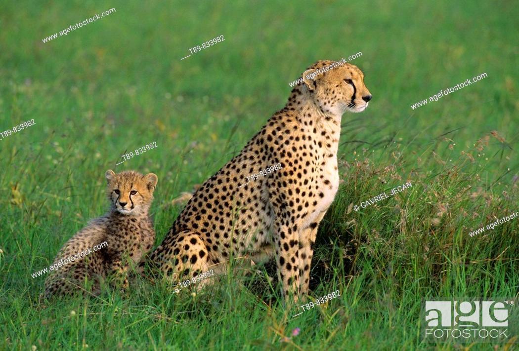 Stock Photo: Cheetah Acinonyx jubatus Mother and young.