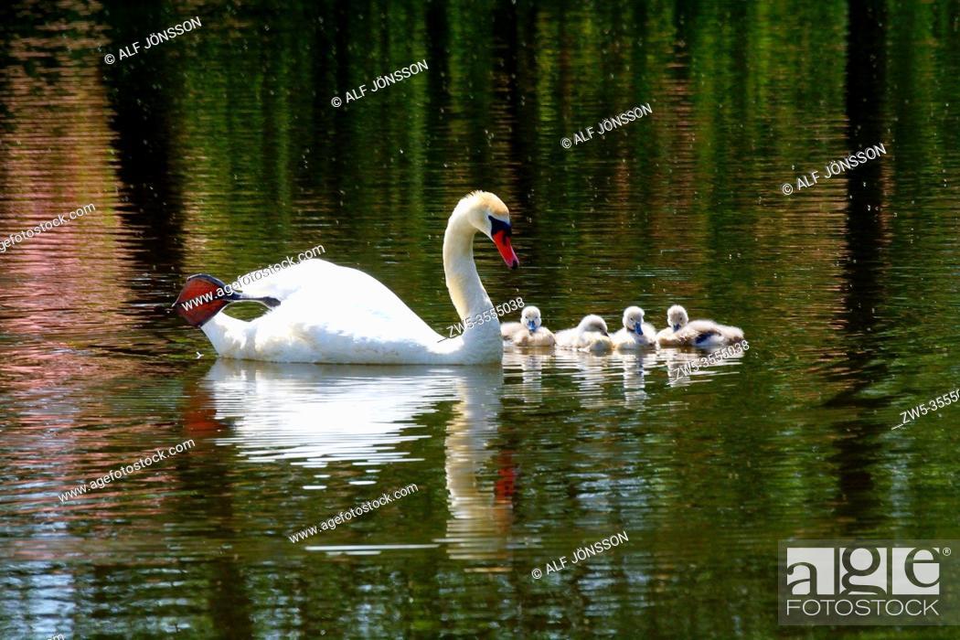 Stock Photo: Mute Swan (Cygnus olor) with chicks in Ystad, Scania, Sweden, Scandinavia.