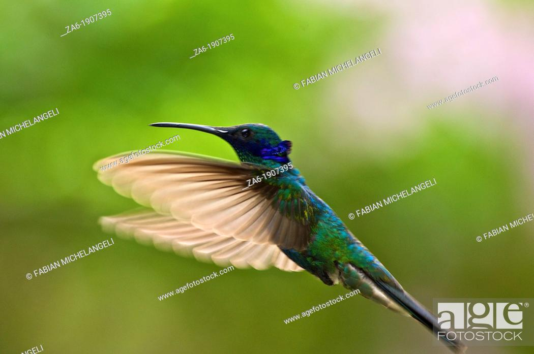 Stock Photo: Sparkling violetears Colibri coruscans in flight with translucent wings open in the cloud forest near Caracas Venezuela.