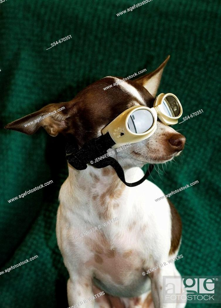 Stock Photo: An adult male Chihuahua wearing goggles.