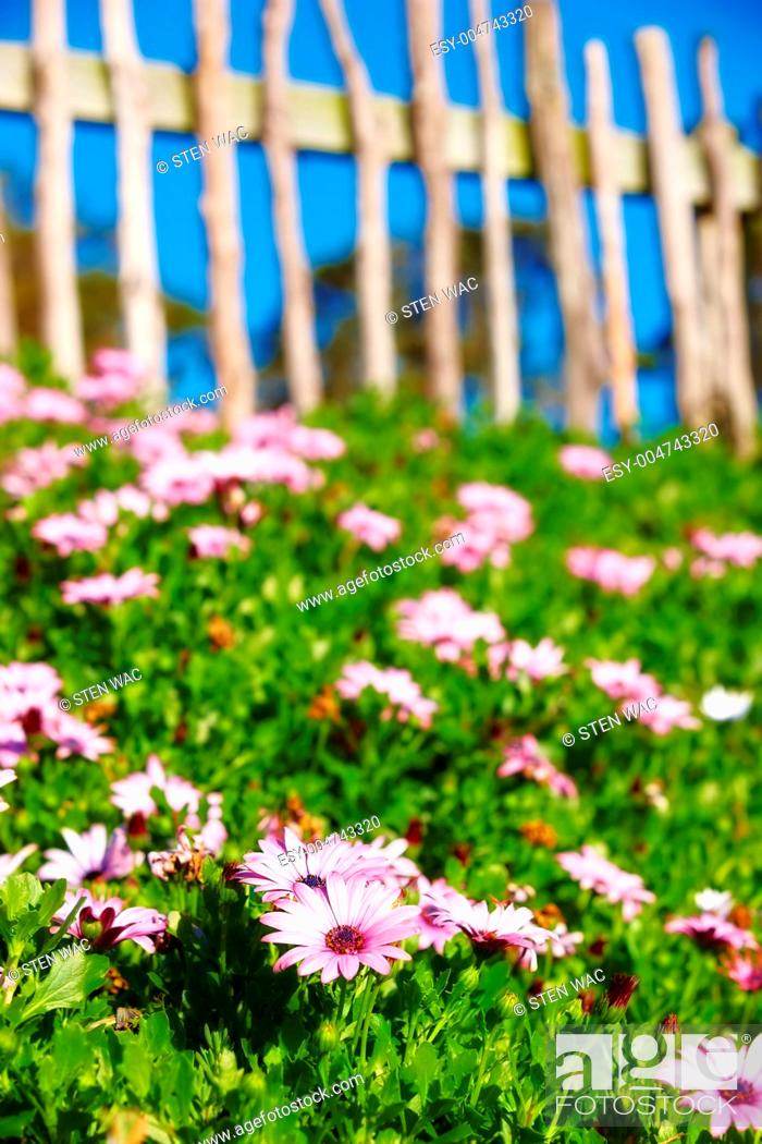 Stock Photo: A photo of a fence, flowers, blue sky and garden.