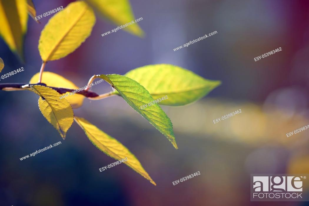 Stock Photo: cherry branch with green and yellow leaves in autumn sunny day, selective focus.