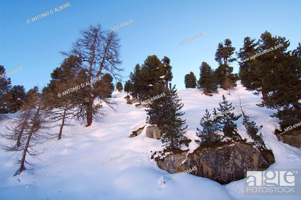 Stock Photo: Forest with firs and pines. Riederalp, Swirzerland.