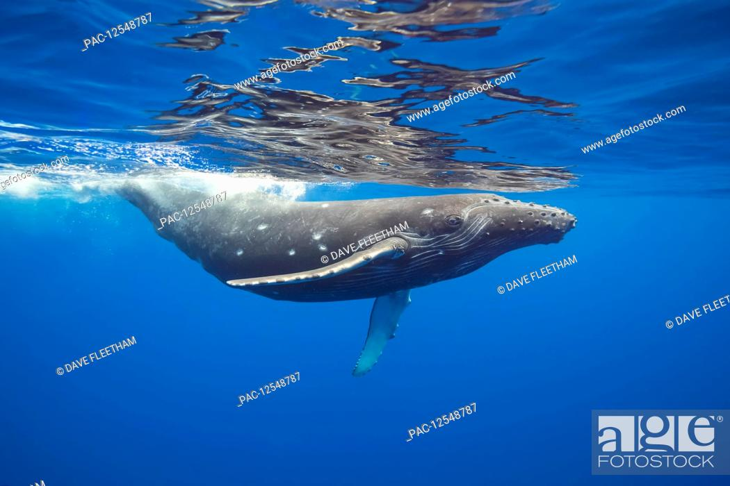 Stock Photo: This Humpback whale (Megaptera novaeangliae) has a number of circular bite marks that may be attributed to a cookie cutter shark; Hawaii.