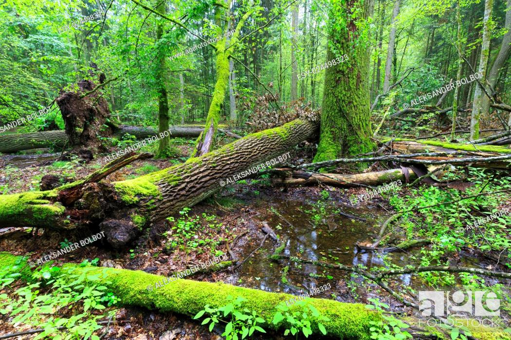 Stock Photo: Deciduous stand rain after in summer with oak logs moss wrapped lying, Bialowieza Forest, Poland, Europe.