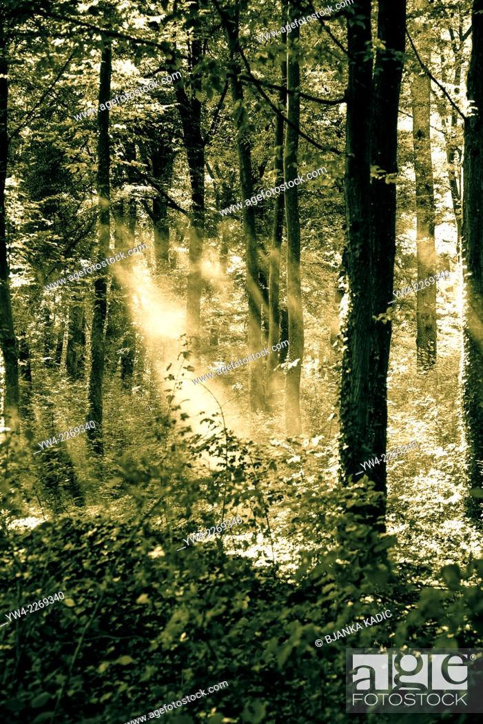 Photo de stock: Shafts of light in woodland, Eastern Slavonia, Croatia.
