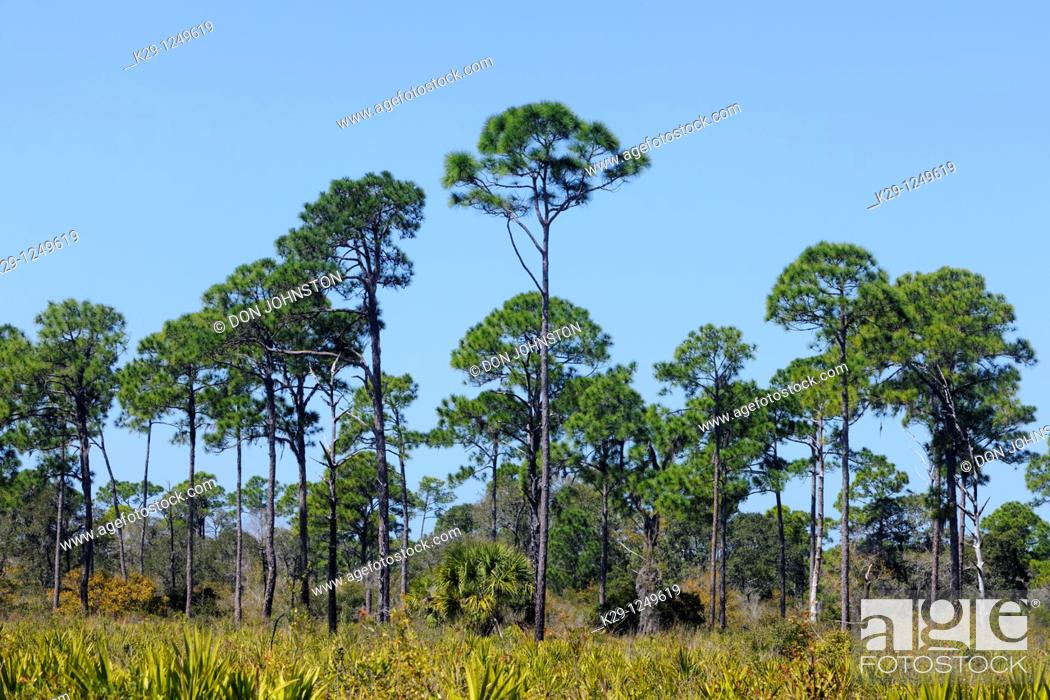 Stock Photo: Pine trees and palmettos in pine flatwoods ecosystem.