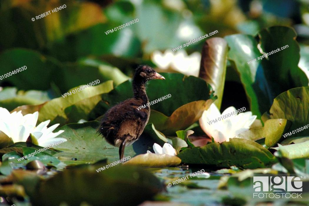Stock Photo: GALLINULA CHLOROPUS - FULICA CHLOROPUSMOORHEN - COMMON MOORHEN - COMMON GALLINULECHICK WALKING ON WATER LILIES.