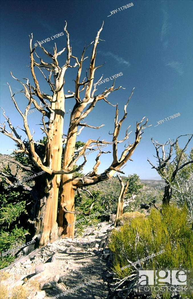 Stock Photo: Bristlecone pine tree in Inyo National Forest park near Big Pine, California, USA  One of the longest living organisms on Earth.
