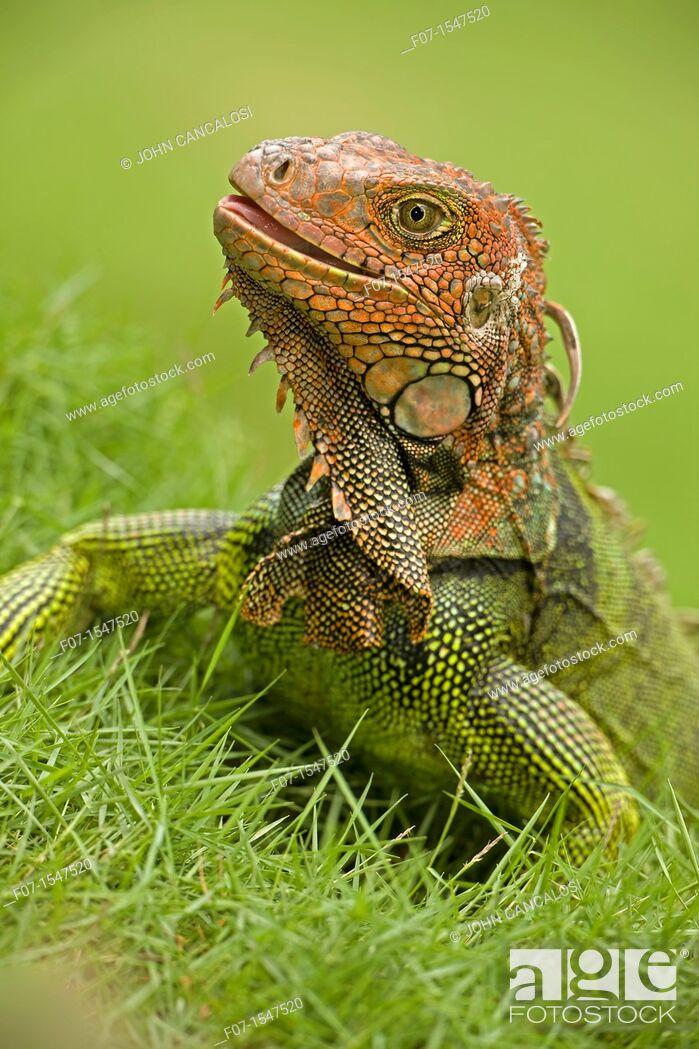 Stock Photo: Green Iguana Iguana iguana. Costa Rica, tropical rainforest.