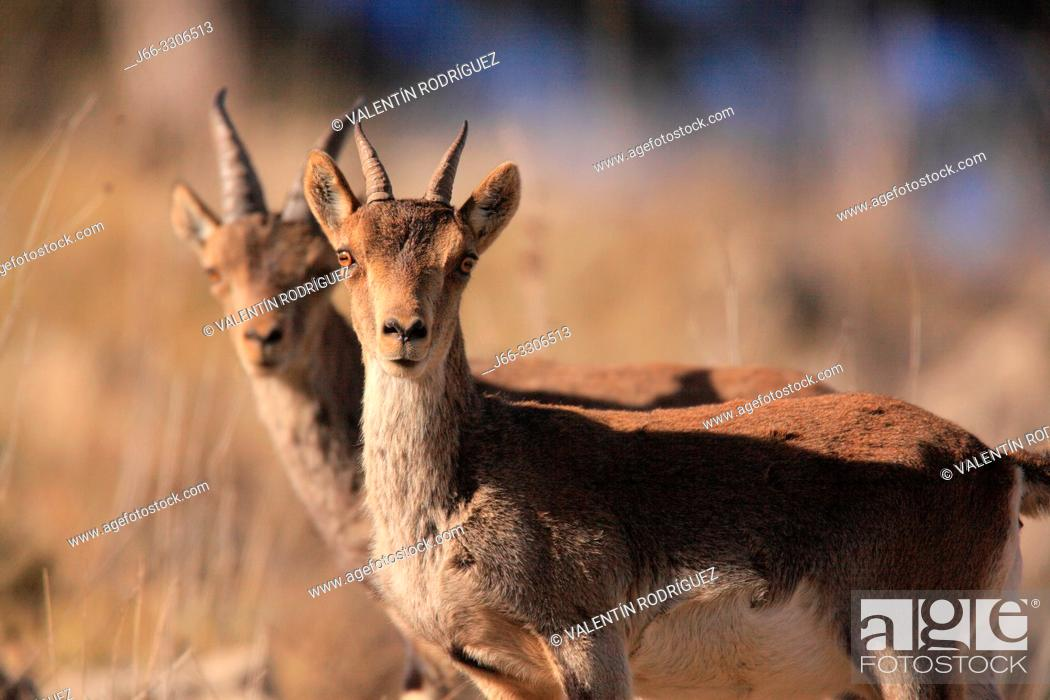 Stock Photo: Mountain goats (Capra hispanica) in the Sierra Javalambre. Teruel. Spain.