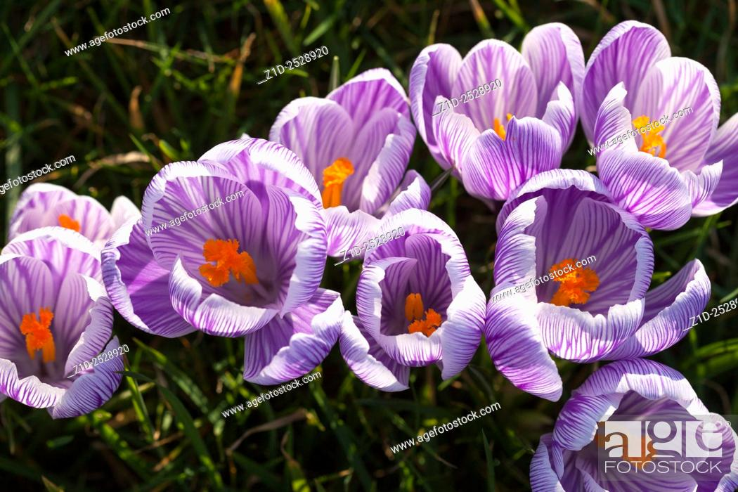 Stock Photo: Spring crocuses Montrose Scotland UK.
