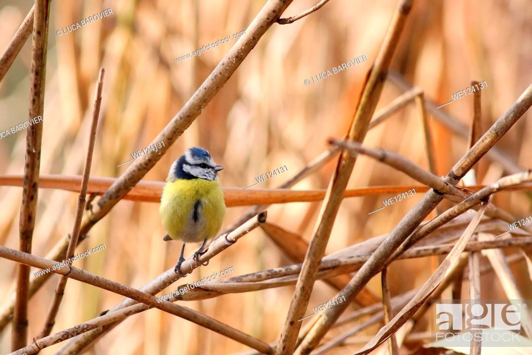 Stock Photo: Blue tit - Cyanistes caeruleus.