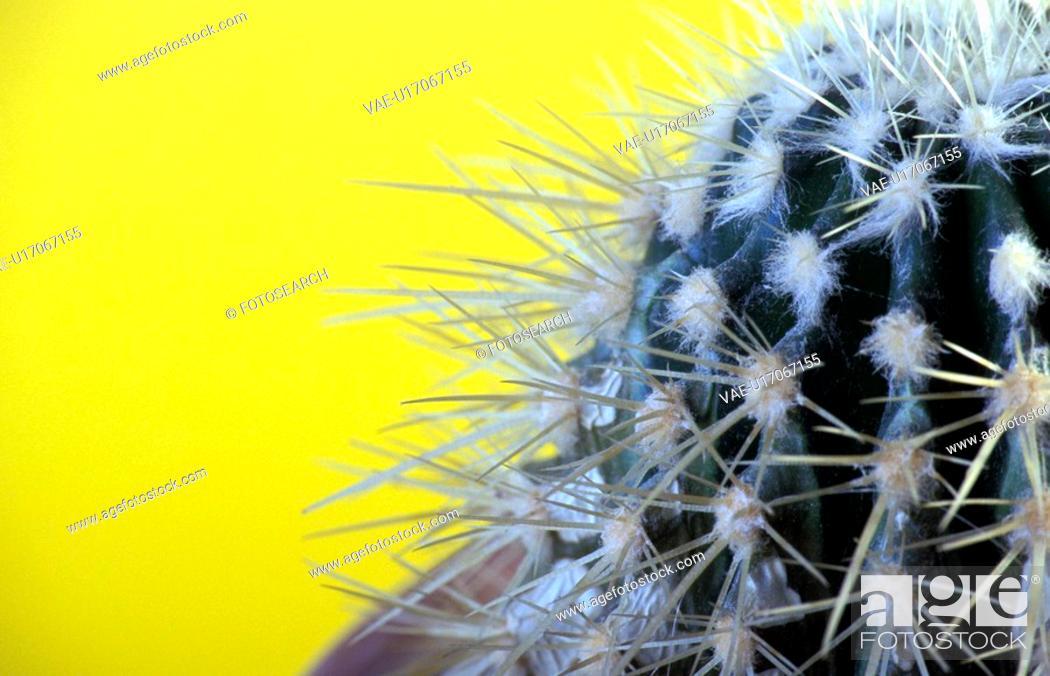 Stock Photo: spitze, alexander, blauphoton, cactaceae, cactus.