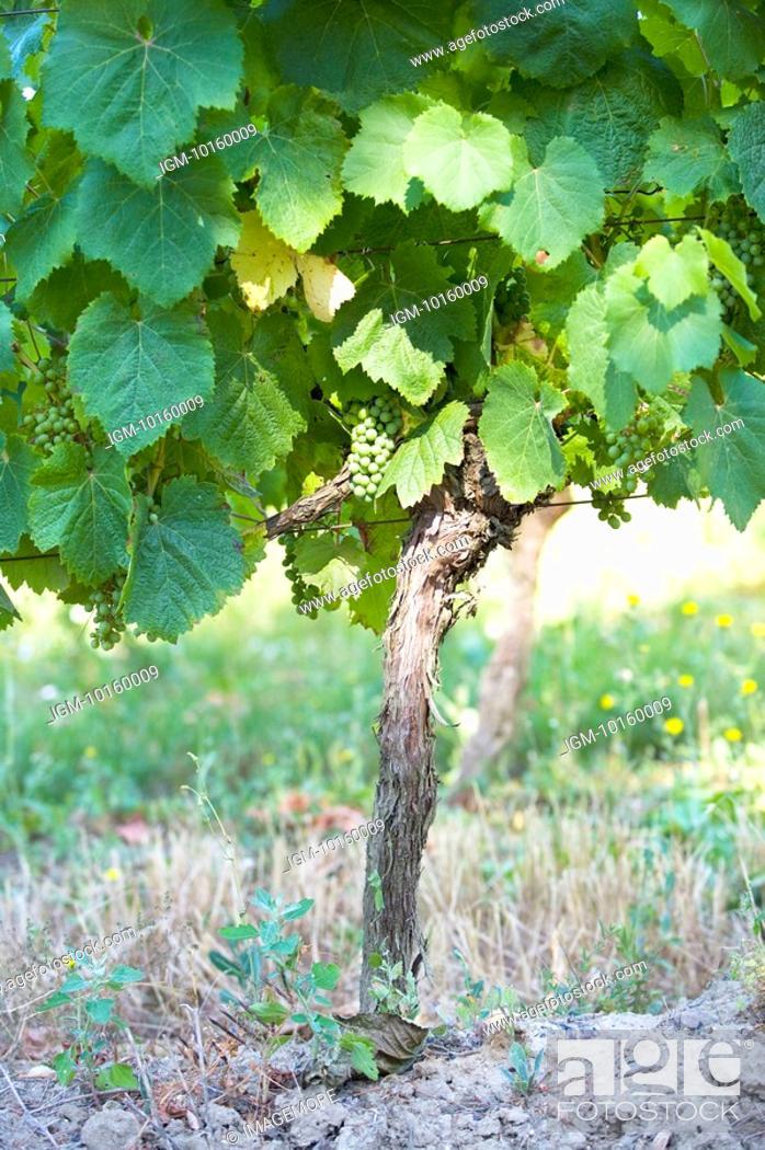 Stock Photo: Vineyard in France.
