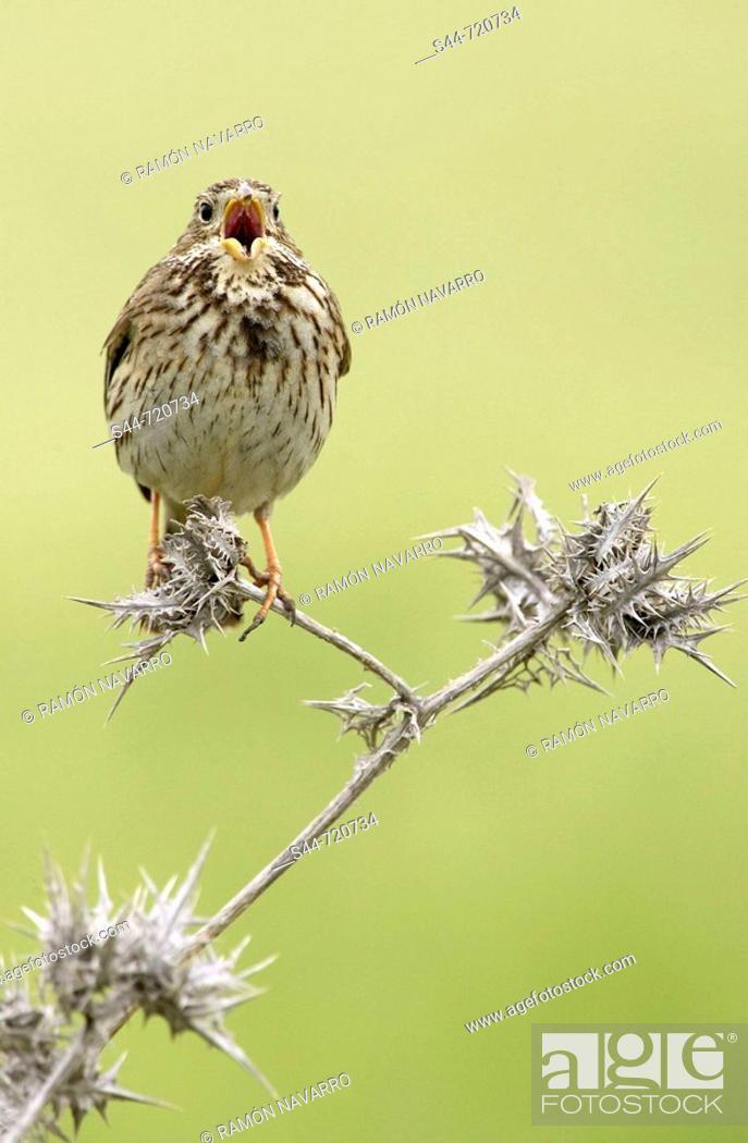 Stock Photo: Corn Bunting (Miliaria calandra). Andalusia. spain.