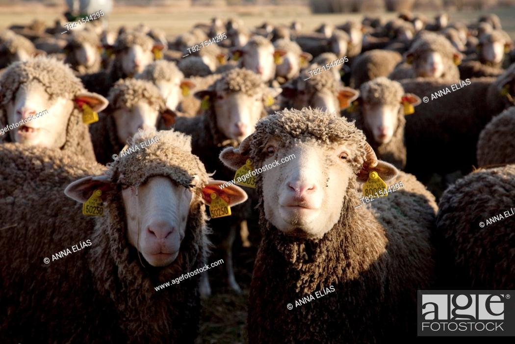 Stock Photo: many sheep foreground looking at camera, Fontvieille, France.