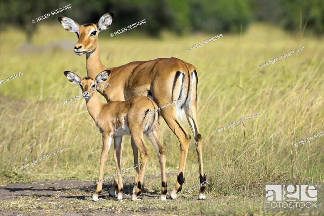Imagen: Impala, Impalas, Antelopes, Aepyceros Melampus, Ewe with Calf, Lake Mburo National Park, Uganda, East Africa.