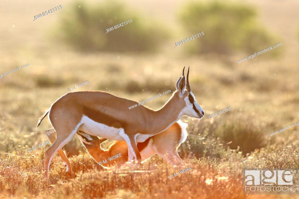 Stock Photo: springbuck, springbok (Antidorcas marsupialis), female suckles fawn, backlight, South Africa, Eastern Cape, Camdeboo National Park.