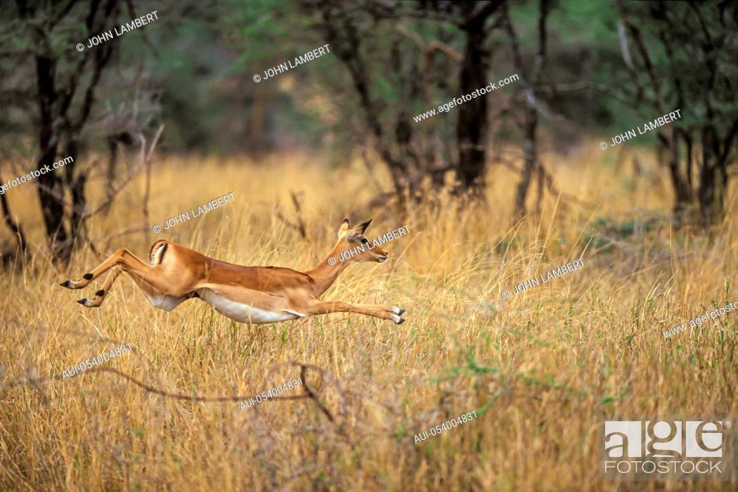 Imagen: tanzania, serengeti national park: female impala running.