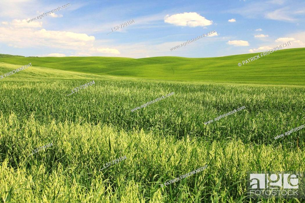 Stock Photo: Wheat field, crop, hill countryside, agricultural landscape, Tuscany, Italy.