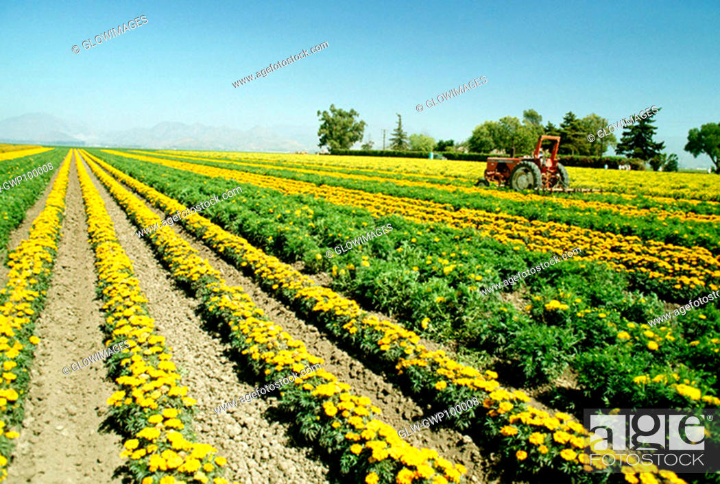 Stock Photo: Field of yellow flowers grown for commercial use & clear blue sky in the background, California.