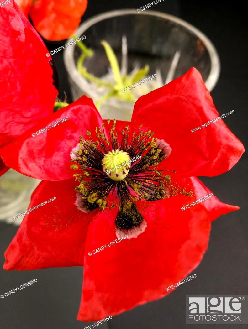 Stock Photo: Close-up of a red poppy on black background.