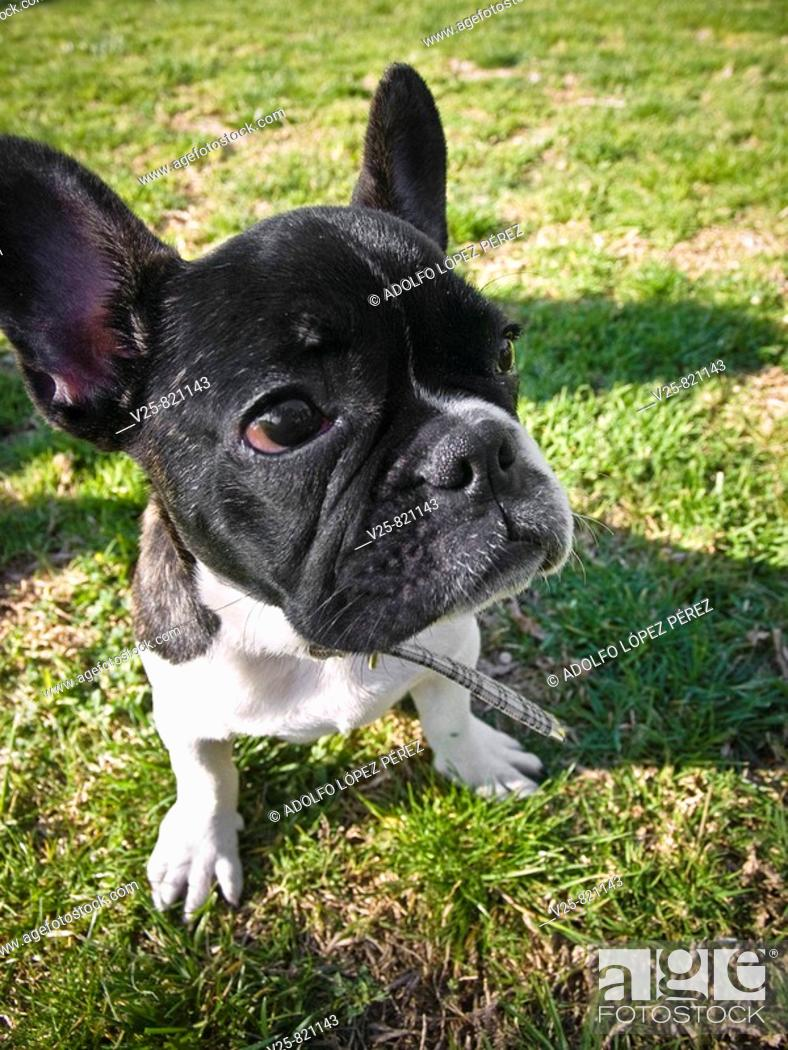 Stock Photo: French Bulldog.
