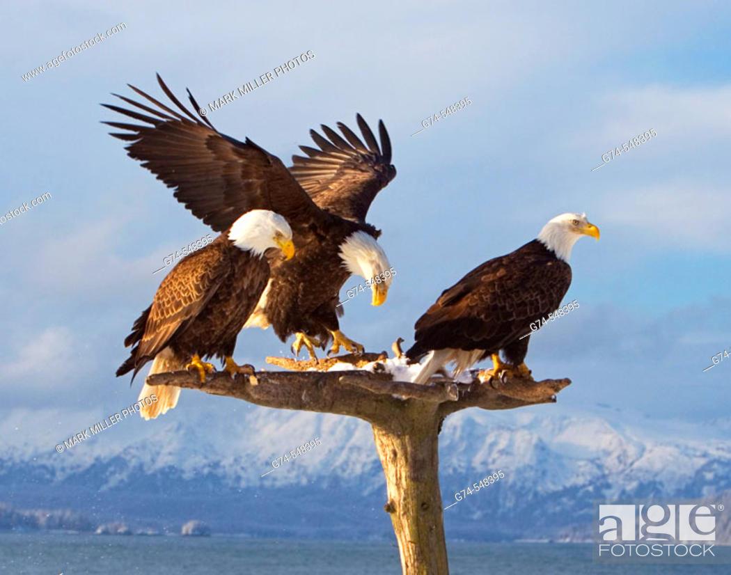 Stock Photo: Three American Bald eagles on a beatiful perch with snow and mountains along the Kenai Peninsula. Early spring. Alaska. USA.
