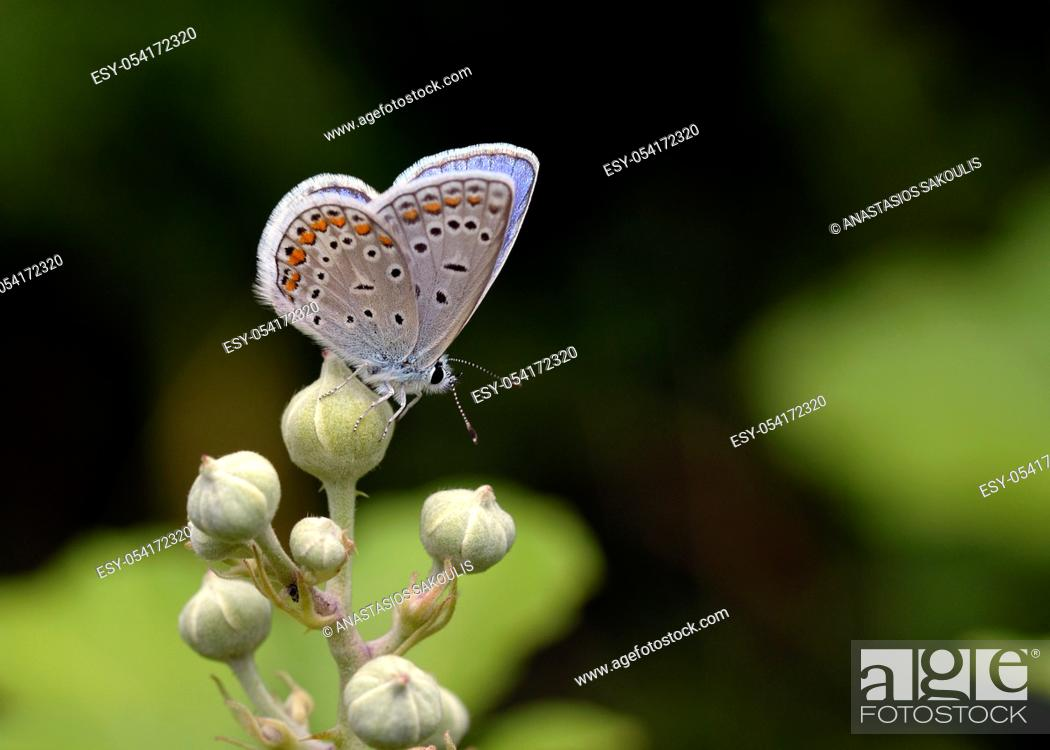 Stock Photo: Common Blue - Polyommatus icarus, Greece.