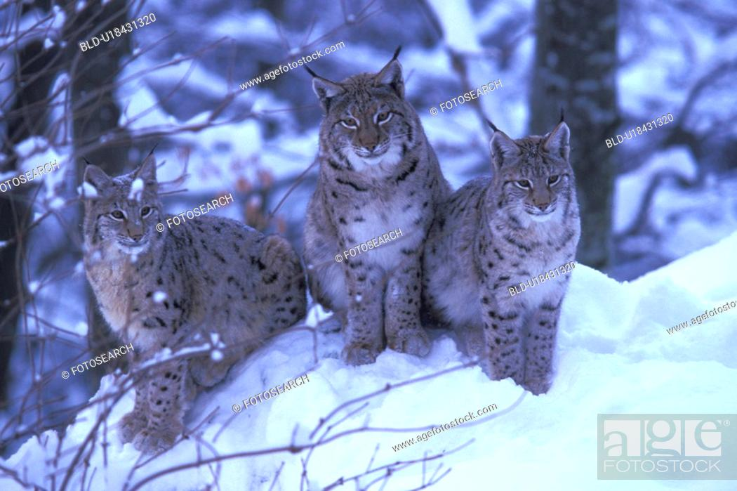 Stock Photo: Lynx in the snow.