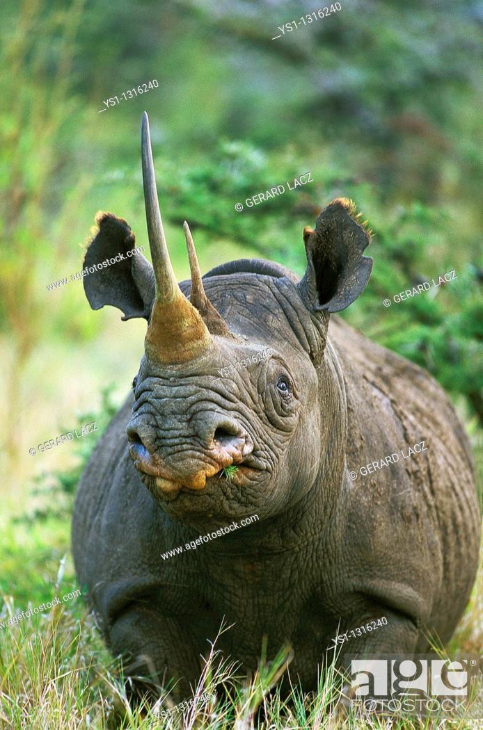 Stock Photo: BLACK RHINOCEROS diceros bicornis, ADULT WITH LONG HORN, KENYA.