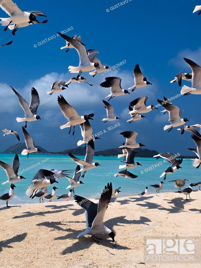 Stock Photo: No People Marine bird Flying, Gulls Bonaparte 1 Animal Flying Gull Bonaparte in sky (Chroicocephalus philadelphia), South America archipiélago Los Roques.