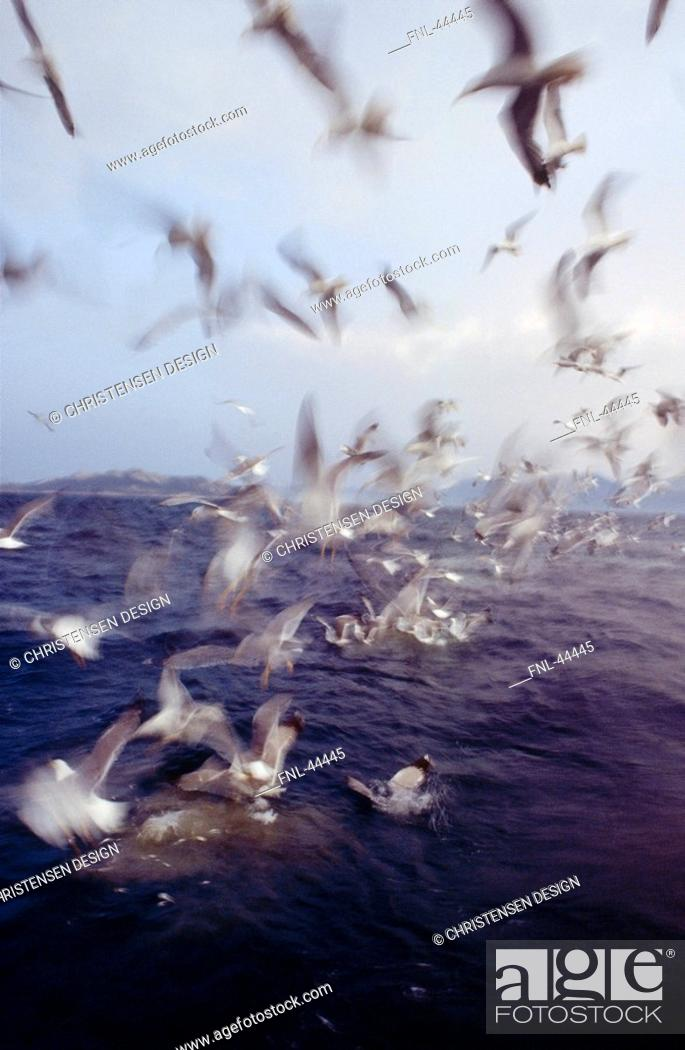 Stock Photo: Flock of seagulls flying over sea.