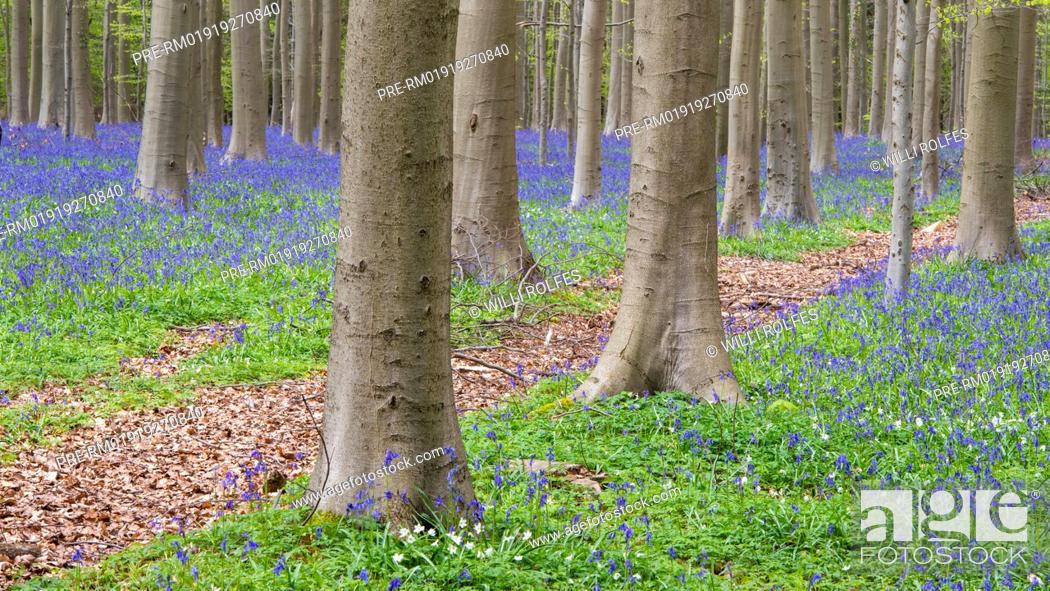 Stock Photo: Spring at Hallerbos with blooming bluebells, Halle, Flemish Brabant province, Belgium / Frühling im Hallerbos mit blühenden Hasenglöckchen, Halle.