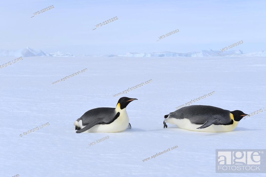 Imagen: Emperor penguins, Aptenodytes forsteri, Adult Slip on the Abdomen over the Ice, Snow Hill Island, Antartic Peninsula, Antarctica.