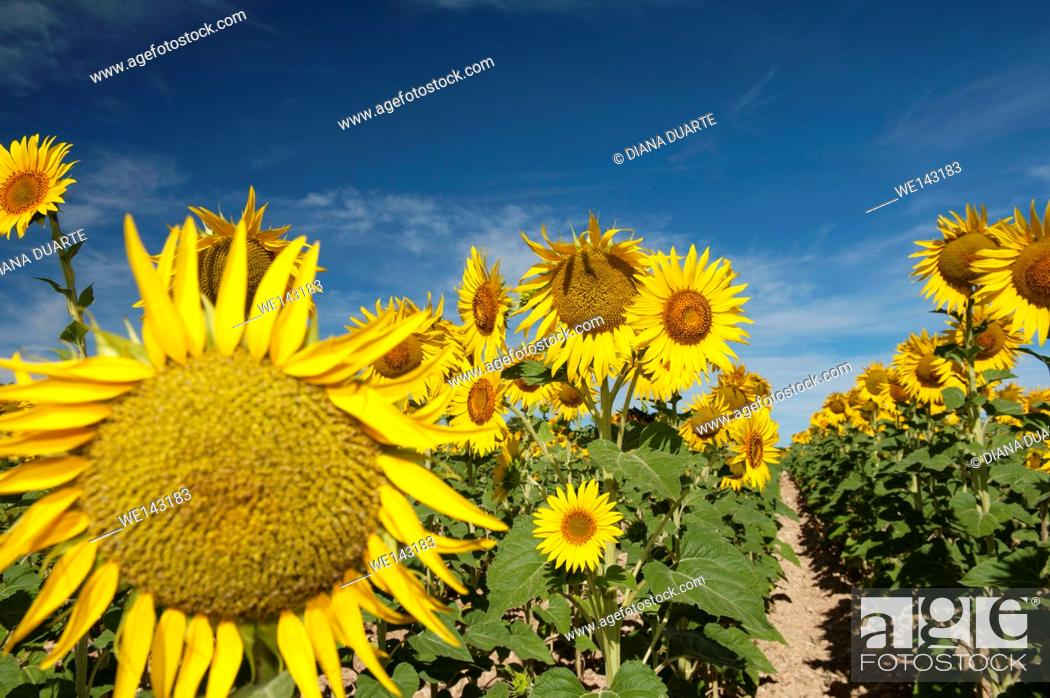Stock Photo: Sunflowers (Helianthus), Field of thousands of sunflowers on the vast plain of the lands of Cuenca. Spain.