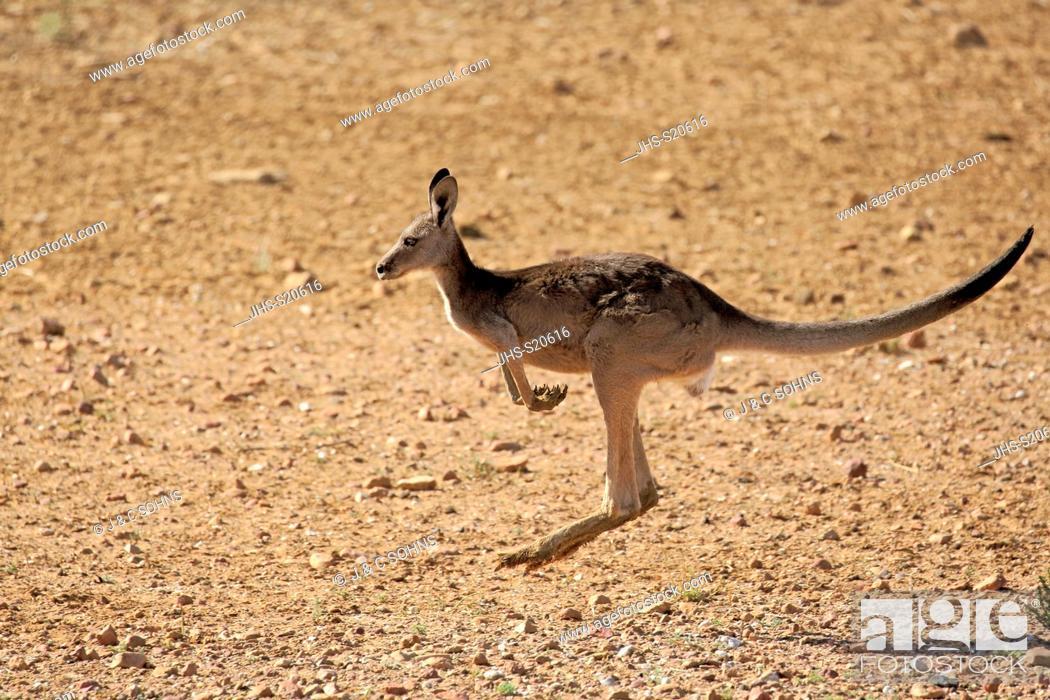 Stock Photo: Red Kangaroo, (Macropus rufus), adult female jumping, Sturt Nationalpark, New South Wales, Australia.