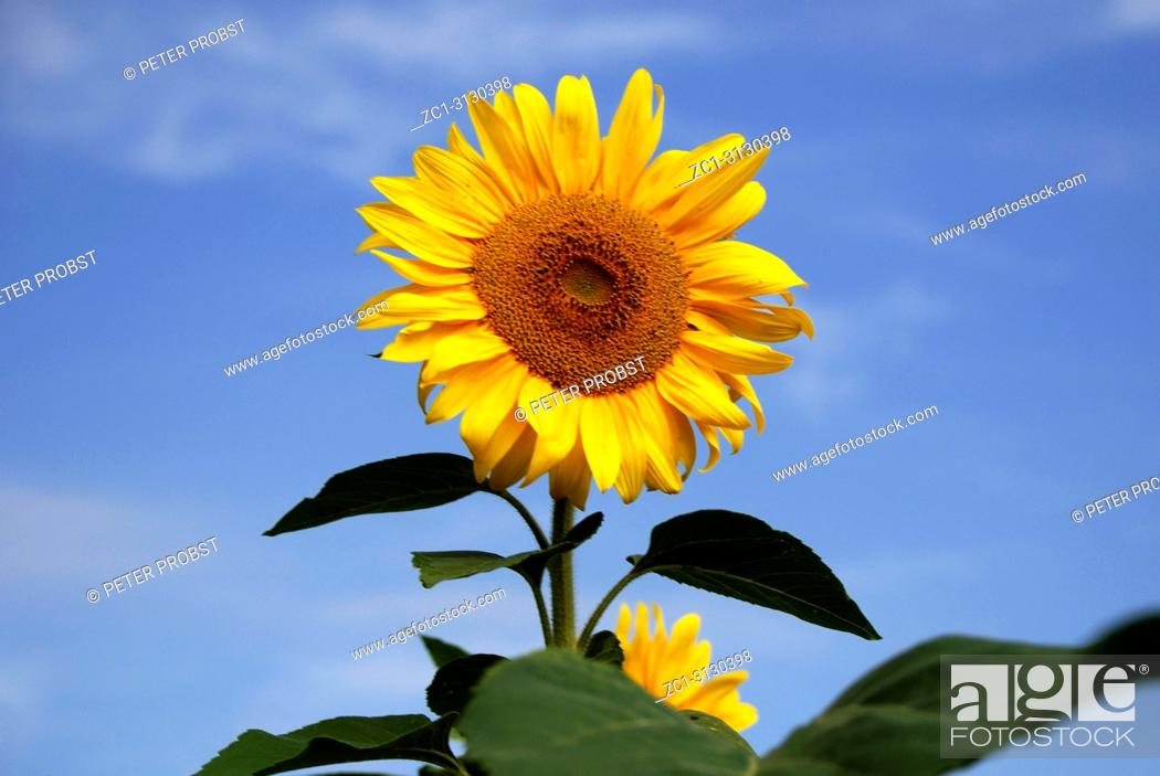 Stock Photo: Sunflower in front of a blue sky on a summer's day in Bavaria - Helianthus annuus.