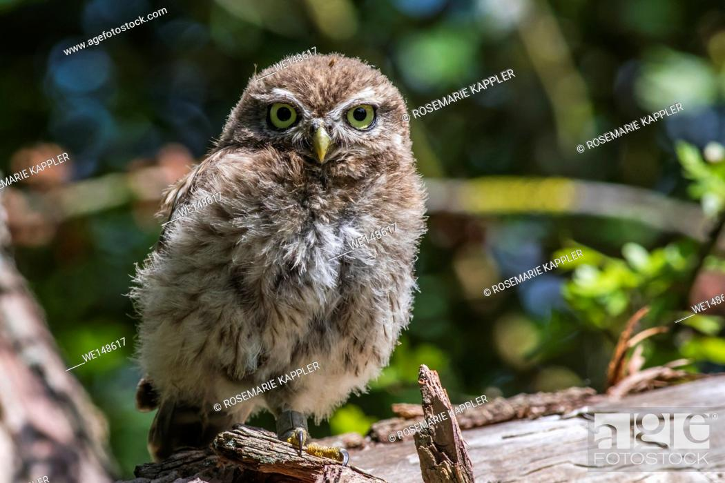 Stock Photo: Germany, saarland, homburg - A little owl is sitting on a branch.