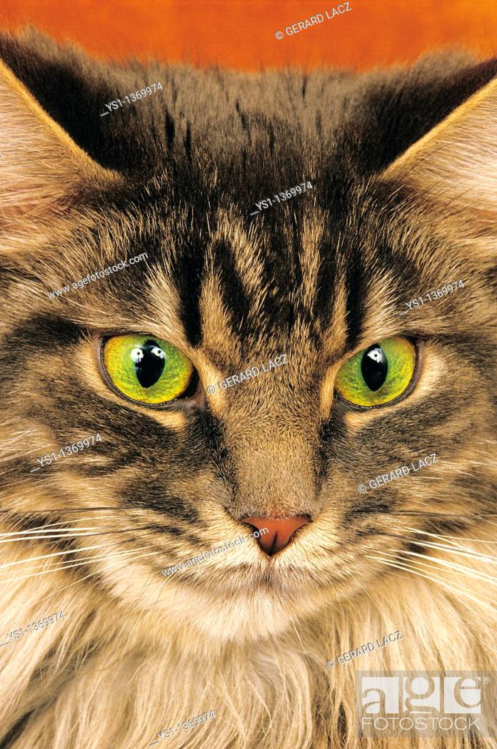 Stock Photo: BROWN TABBY MAINE COON DOMESTIC CAT, PORTRAIT OF ADULT.