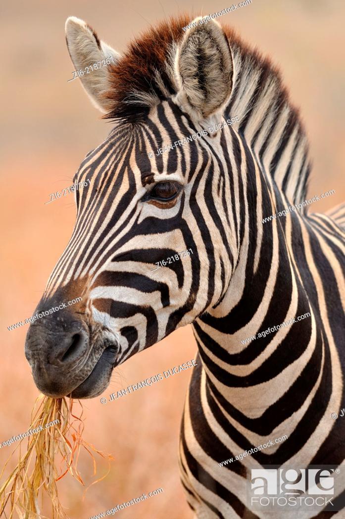 Stock Photo: Burchell's zebra, (Equus burchelli), eating grass, Kruger National Park, South Africa, Africa.