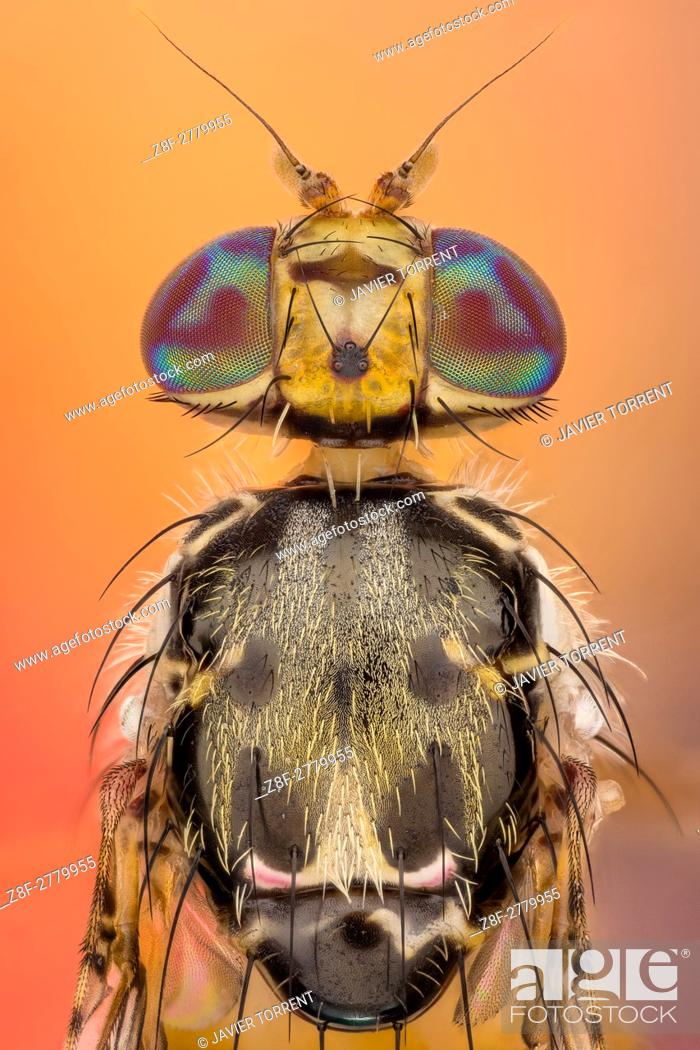 Stock Photo: The Mediterranean fruit fly, Ceratitis capitata, is one of the world's most destructive fruit pests. . Adult male Mediterranean fruit fly.
